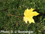 Fallen Leaf on Grass